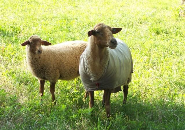 Apple Rose Farm, California Red Sheep